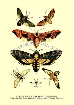Eyed Hawk-Moth, Death' s-Head, Small Elephant, Humming Bird, Bee Hawk-Moth, Hornet Moth